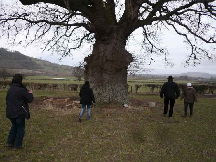 ancient oak in Sarn